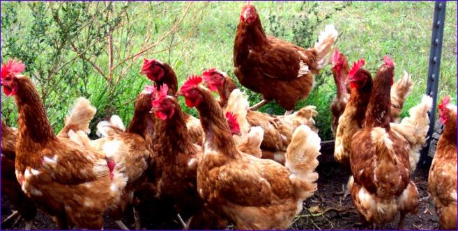 poultry farm valuation model
